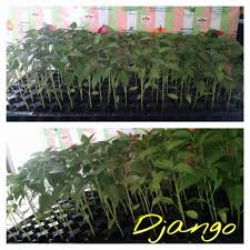 100 Seedling Truck DJANGO SILING PANIGANG HOT PEPPER FarmReady GG