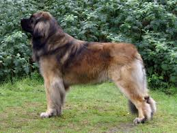 Do All Big Dogs Shed by 72 Best Pyrenean Mastiff Images On Pinterest Pyrenean Mastiff