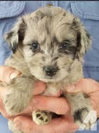 best 25 australian shepherd poodle mix ideas on pinterest