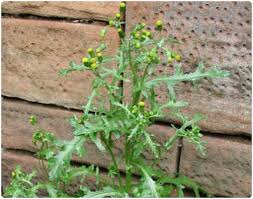 Groundsel Common Weeds Identifying Annual With Roundup