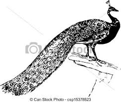 Peacock Vector Illustration