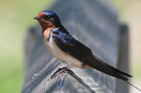 Cool Facts About Barn Swallows: Small Birds With Forked Tails Barn Swallow Sitting On A White In Sumrtime Stock Photo Swallow Watercolor Print 5x7 Bird Art David Scheirer Wooden By Limitlessendeavours On Deviantart Birding Is Fun The Beloved Character Concept Pilot Illustration Project Barn Barnstorming Swallows Make Their Return To New Hampshire Birds Of York Larks And Kinglets Cool Facts About Small With Forked Tails Hirundo Rustica Male Lake Washington Union Bay Seattle Usa Feather Tailed Stories