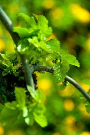 Download Weeping Mulberry Tree Leaves Young Stock Image