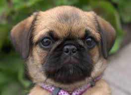 Do Pugs And Puggles Shed by More Info About The Pug Shih Tzu Mix Dogable