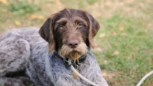 German Shorthaired Pointer Shedding by Image Gallery Wirehaired Pointer