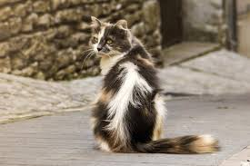 Do Maine Coons Shed Their Mane by Mind Blowing Facts About The Playful And Lionesque Maine Coon Cats