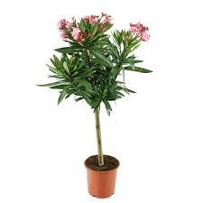nerium oleander fleur simple 1 4 tige pot 10 litres
