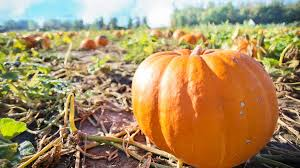 Seattle Pumpkin Patch by 7 Best Pumpkin Patches And Corn Mazes In South Puget Sound Parentmap