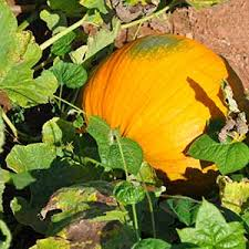 Pumpkin Patches In Colorado Springs 2014 by Denver Downs Farm Welcome Denver Downs Farm