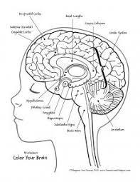 Stockphotos Brain Anatomy Coloring Book