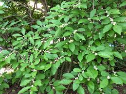 Winterberry Christmas Tree Farm by Winterberry A Native Shrub With Pollinator Appeal