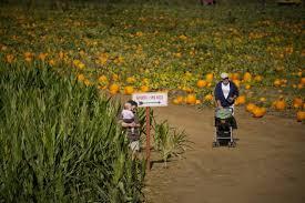 Giant Pumpkin Festival Elk Grove by Pumpkin Harvest Ready And Waiting The Sacramento Bee