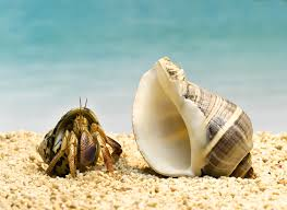 Halloween Hermit Crab Care by Find Out If Your Hermit Crab Is Molting Or Dead