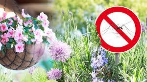 hausmittel gegen mücken diese 7 pflanzen vertreiben stechmücken