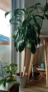 drachenbaum palme 1 5 m wohnzimmer pflanze große zimmerpflanze