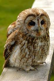 Barn Owl Clipart Tawny Owl - Pencil And In Color Barn Owl Clipart ... White Screech Owl Illustration Lachina Bbc Two Autumnwatch Sleepy Barn Owl Yoga Bird Feeder Feast And Barn Wikipedia Attractions In Cornwall Sanctuary Wishart Studios Red Eastern By Ryangallagherart On Deviantart Owlingcom Biology Birding Buddies 2000 Best 2 Especially Images Pinterest Screeching Youtube