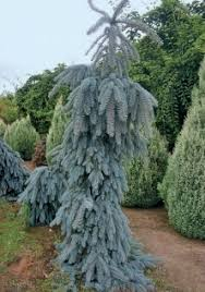 Weeping Blue Spruce An Evergreen Of Bright Colour In A Unusual Strongly Form