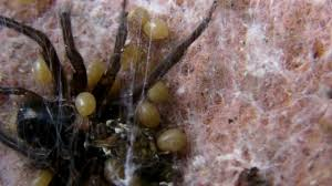 Spiderlings Eat Mother - YouTube Barn Spider Photography Nature Pinterest Update Spiders Still Dont Bite Arthropod Ecology Beneficial In The Landscape 49 Bana Nephila Tegenaria Domestica Wikipedia Grass Spiders At Spiderzrule Best Site World About Spiderlings Eat Mother Youtube Myths Burke Museum What Are Some Common Montana Animals Momme 7 Bug And Squashed National Geographic Society Blogs Neighbourhood Agriculture Food Molting