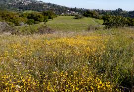 Spirit Halloween Almaden San Jose by Bay Area Wildflowers Boom In Blooms Expected In Parks