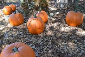 Atlantic Giant Pumpkin Taste by Pumpkin Facts To Know Writer Mariecor