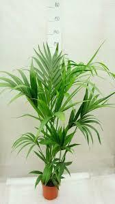 kentia palme howea forsteriana 90 110cm topf ø 19cm