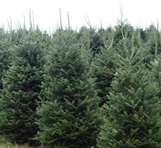 Fraser Fir Christmas Trees by Fish River Trees Home Of