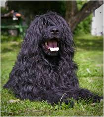House Dogs That Dont Shed by 15 Dogs That Don U0027t Shed Amazing Hypoallergenic Dog Breeds 2017