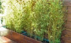 bambous pour pots et jardinières vente bambous leaderplant