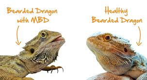 Bearded Dragon Heat Lamp Timer by Bearded Dragon Archives Vetafarm