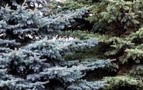 7 Douglas Fir Artificial Christmas Tree by 4 Popular Christmas Tree Types U0026 How To Decorate Them