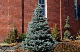 Best Type Of Christmas Tree For Cats by Perennials Shrubs And Trees To Grow In Acid Soil
