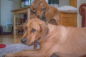 Do Rhodesian Ridgebacks Drool by The Joys Of Living With A Teething Puppy U2013 Marking Our Territory