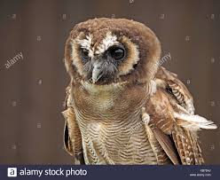 Asian Wood Owl Stock Photos & Asian Wood Owl Stock Images - Alamy Amazing Barn Owl Nocturnal Facts About Wild Animals Barn Owl By David Cooke For Sale The Sculpture Parkcom Rhodium Comes To Canada With Its Striking New Nocturnal Nature Flying Wallpapersbirds Unique Hd Wallpapers Owls In Kuala Lumpur Bird Park Stock Photo Image 87325150 Biocontrol View Common In Malaysia Sekinchan Paddy Field Youtube Another Blog Farmers Friend Bear With Him Girl Mom Birds Of World Owls