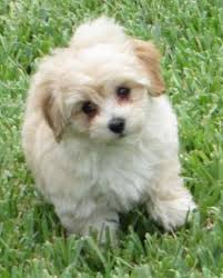 Non Shed Dog Breeds Hypoallergenic by Maltipoo Designer Dog Breed Maltese Poodle Hybrid Cutest
