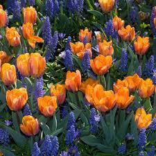 tulip prinses irene white flower farm