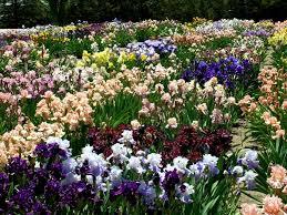 blue j iris