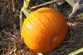 Types Of Pumpkins For Baking by How To Use A Real Pumpkin Instead Of Canned Pumpkin Easy As Pie