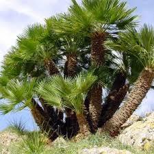 prix des palmiers exterieur chamaerops humilis palmier nain palmier éventail moneden
