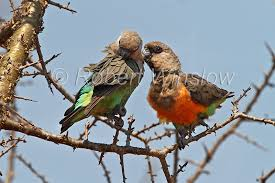 Courting Pair Of African Orange Bellied Parrots Poicephalus Rufiventris Tsavo West National Park