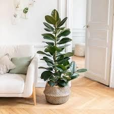 ficus elastica robusta fred ficus pflanzen pflanzen