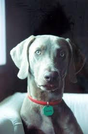 Do Long Haired Weimaraners Shed by 100 Do Long Haired Weimaraners Shed Weimaraner Dog Breed