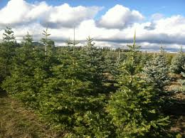 Seattle Christmas Tree Disposal 2014 by Christmas Trees Topical Coverage At The Spokesman Review