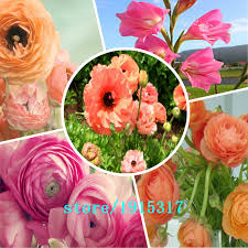100 pcs ranunculus flowers buttercup for home garden diy