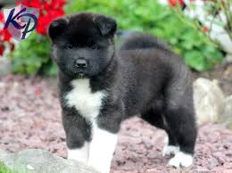 Do Akita Dogs Shed Hair by 52 Best Akita Images On Pinterest American Akita Akita Dog And