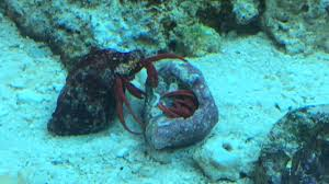 Halloween Hermit Crab by My Saltwater Reef Hermit Crabs Fighting Mating Youtube