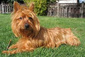 Small Non Shedding Dogs Australia by Small Dog Breeds List Of All Small Dogs Small Hypoallergenic