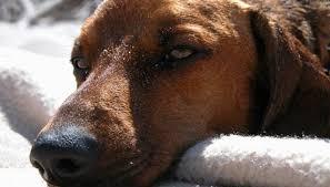 Dog Urine Wood Floors Vinegar by How To Clean Dog Urine With White Vinegar Homesteady