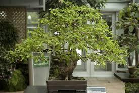 pot bonsai grande taille bonsaïs d intérieur espace pour la vie
