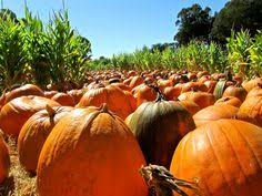 Wheatland California Pumpkin Patch by Tanaka Farms Pumpkin Patch In Irvine Going Here Next Weekend