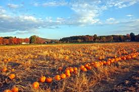 The Great Pumpkin Patch Pueblo Colorado by Editorial Great Pumpkin Search Is Harder This Season Masslive Com